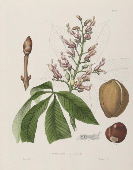 Botanical Buckeye 2