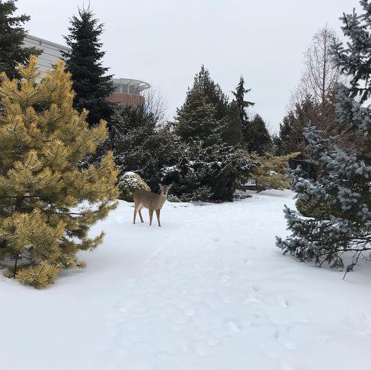 Deer in Conifers