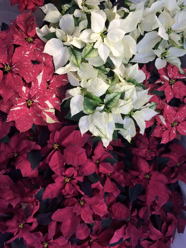 PAX Pointsettia Sale