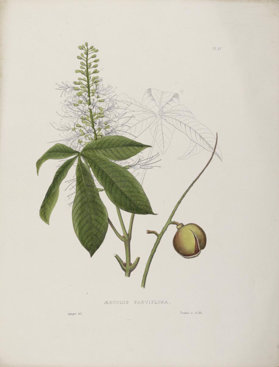 botanical buckeye